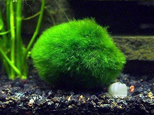 Easy aquarium plant package 30 55 gallon heavily plant for Moss balls for fish tanks